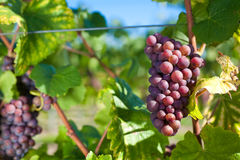 Winegrapes. At a huge vineyard Stock Photography