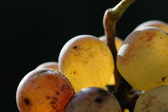 Winegrapes macro. Isolated winegrapes macro with autumn sunlight Royalty Free Stock Images