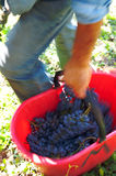 Winegrower. A winegrower  with a basket of grapes in motion, The photo is blurred for the movement Stock Photography