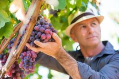 Winegrower man in straw hat picking ripe grapes royalty free stock image