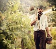 Winegrower medan skörddruvor Arkivbild