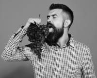 Winegrower met verleidelijk gezicht en de gesloten cluster van ogenlikken van purpere druiven De mens met baard geniet van zijn b stock foto