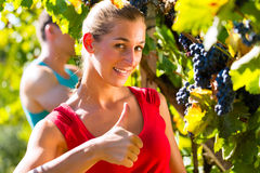Winegrower picking grapes at harvest time. Man and women - winegrower - picking grapes with shear at harvest time in the vineyard Royalty Free Stock Photo