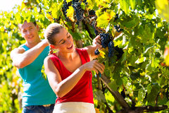 Winegrower picking grapes at harvest time. Man and women - winegrower - picking grapes with shear at harvest time in the vineyard Royalty Free Stock Photography