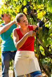 Winegrower picking grapes at harvest time. Man and women - winegrower - picking grapes with shear at harvest time in the vineyard Royalty Free Stock Images