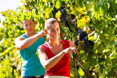 Winegrower picking grapes at harvest time. Man and women - winegrower - picking grapes with shear at harvest time in the vineyard Stock Photography