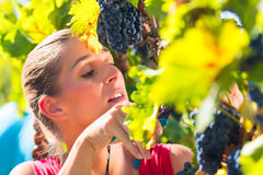 Winegrower picking grapes at harvest time. Man and women - winegrower - picking grapes with shear at harvest time in the vineyard Stock Photos