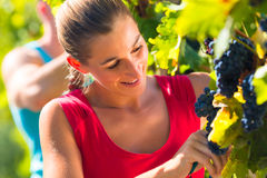 Winegrower picking grapes at harvest time Royalty Free Stock Photo