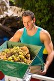 Winegrower pracuje z gronową zbiera maszyną Obrazy Stock