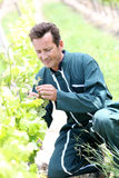 Winegrower verifying vines. Winegrower in vineyard checking on grapes Royalty Free Stock Image
