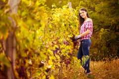 Winegrower in the vineyard. Woman winegrower picking grapes at harvest time in the vineyard Stock Images