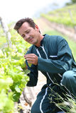 Winegrower in vineyards checking the evolution of grapes. Winegrower in vineyard checking on grapes Royalty Free Stock Photography