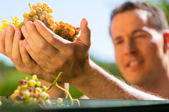 Winegrower working with grape. Harvesting machine at vintage and having fun Stock Photography
