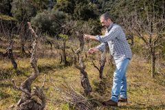 Winegrower Works At Pruning In An Old Vineyard Royalty Free Stock Photos