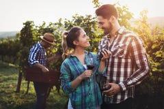Winegrowers жать виноградины в винограднике Стоковые Фото