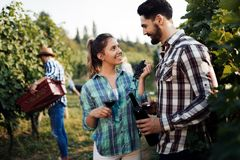 Winegrowers жать виноградины в винограднике Стоковые Изображения RF