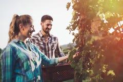 Winegrowers жать виноградины в винограднике Стоковая Фотография RF
