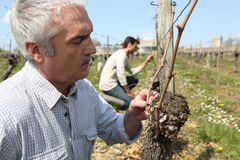 Winegrowers pruning vines Stock Photo