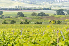 Winegrowing around Loerzweiler. Winegrowing scenery around Loerzweiler in the Rhineland-Palatinate in Germany at spring time Stock Image