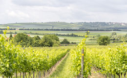Winegrowing around Loerzweiler. Winegrowing scenery around Loerzweiler in the Rhineland-Palatinate in Germany at spring time Royalty Free Stock Images
