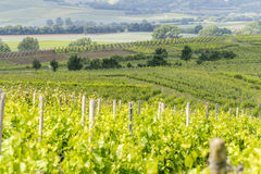 Winegrowing around Loerzweiler. Winegrowing scenery around Loerzweiler in the Rhineland-Palatinate in Germany at spring time Stock Photography