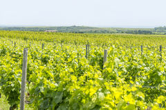 Winegrowing around Loerzweiler. Winegrowing scenery around Loerzweiler in the Rhineland-Palatinate in Germany at spring time Royalty Free Stock Image
