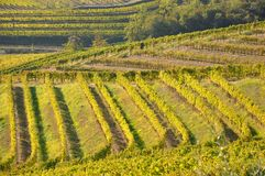 Winegrowing in Friuli Italy royalty free stock image