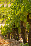 Winegrowing Royalty Free Stock Photo