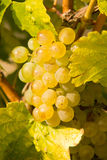 Winegrowing Stock Images