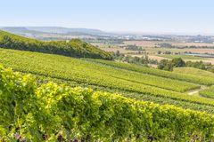 Winegrowing scenery in Hohenlohe. Sunny winegrowing scenery in Hohenlohe, a area in Southern Germany at late summer time Royalty Free Stock Photo