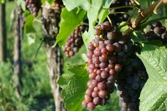 Winegrowing / wine background. Summer / autumn season - winegrowing / nature background Royalty Free Stock Images