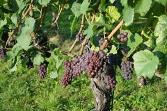 Winegrowing / wine background. Summer / autumn season - winegrowing / nature background Stock Images