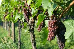 Winegrowing / wine background. Summer / autumn season - winegrowing / nature background Royalty Free Stock Photos
