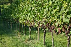 Winegrowing / wine background. Summer / autumn season - winegrowing / nature background Royalty Free Stock Image