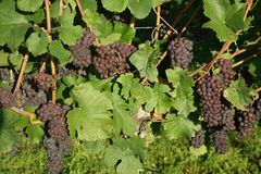 Winegrowing / wine background. Summer / autumn season - winegrowing / nature background Royalty Free Stock Photo