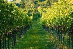 Winegrowing / wine background. Summer / autumn season - winegrowing / nature background Stock Photo