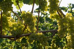Winegrowing. In againstlight in a row Royalty Free Stock Image