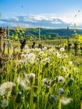 Winegrowing Stock Photos