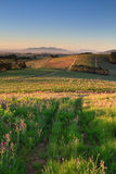 Winelands. Rows of Vineyards in early evening sunlight near Stellenbosch Royalty Free Stock Photography