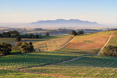 Winelands. Rows of Vineyards in early evening sunlight near Stellenbosch Royalty Free Stock Image