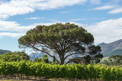Winelands Tree Royalty Free Stock Image