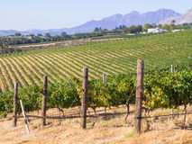 Winelands Stock Images