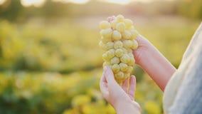 Winemaker держа связку винограда на предпосылке виноградника стоковое изображение rf