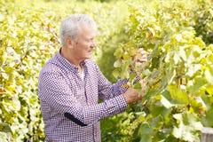 Winemaker aîné Photographie stock