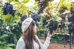 Winemaker asiático da mulher que verifica uvas no vinhedo imagem de stock