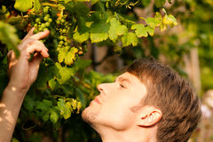 Winemaker checking the grapes Stock Photos