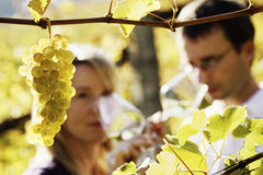 Winemaker couple tasting wine. Close-up of bunch of green grapes hanging from vine in vineyard with blured male and female winemaker in background holding glases stock photos