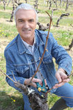 Winemaker cutting branch in vine row. Portrait of a winemaker smiling in vine row royalty free stock photography