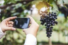 Winemaker de Woman do agr?nomo que usa Smartphone que verifica uvas no vinhedo fotografia de stock royalty free