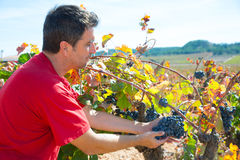 Winemaker harvesting Bobal grapes in mediterranean Stock Photo
